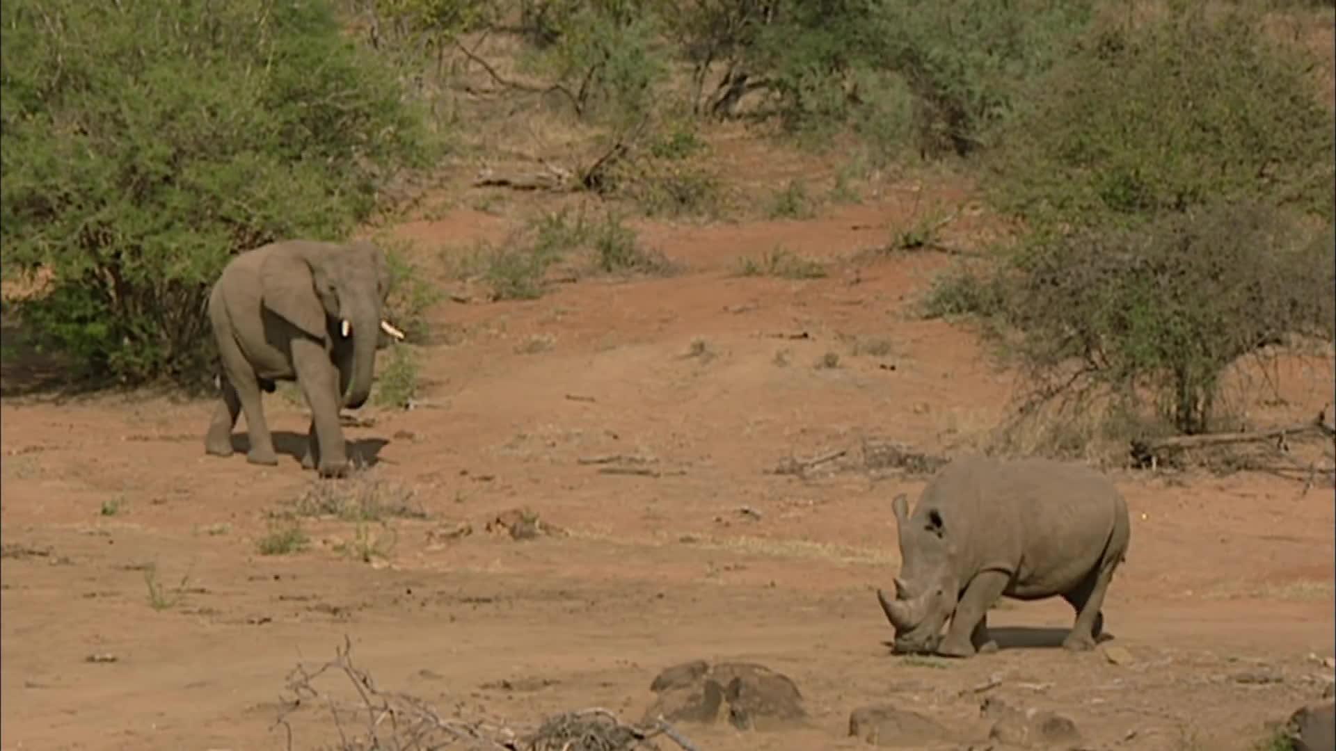 elephant, elephants, gifs, rhino, rhinoceros, Elephant vs Rhino: The Delinquents of Pilanesberg GIFs