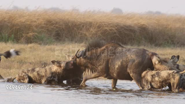 African Wild Dogs ripping a Wildebeest's asshole GIFs