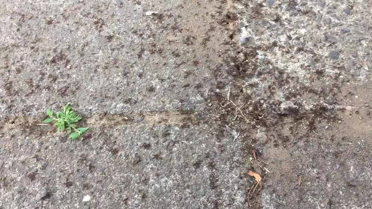antfacts, awwducational, Pavement ant GIFs