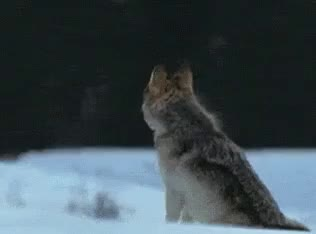Watch wolf whistle GIF on Gfycat. Discover more related GIFs on Gfycat