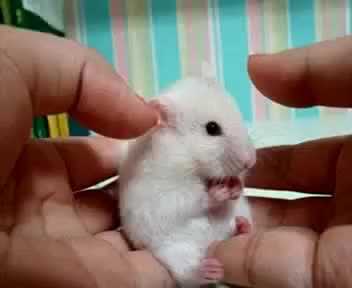 Watch hamster GIF on Gfycat. Discover more cute animals GIFs on Gfycat