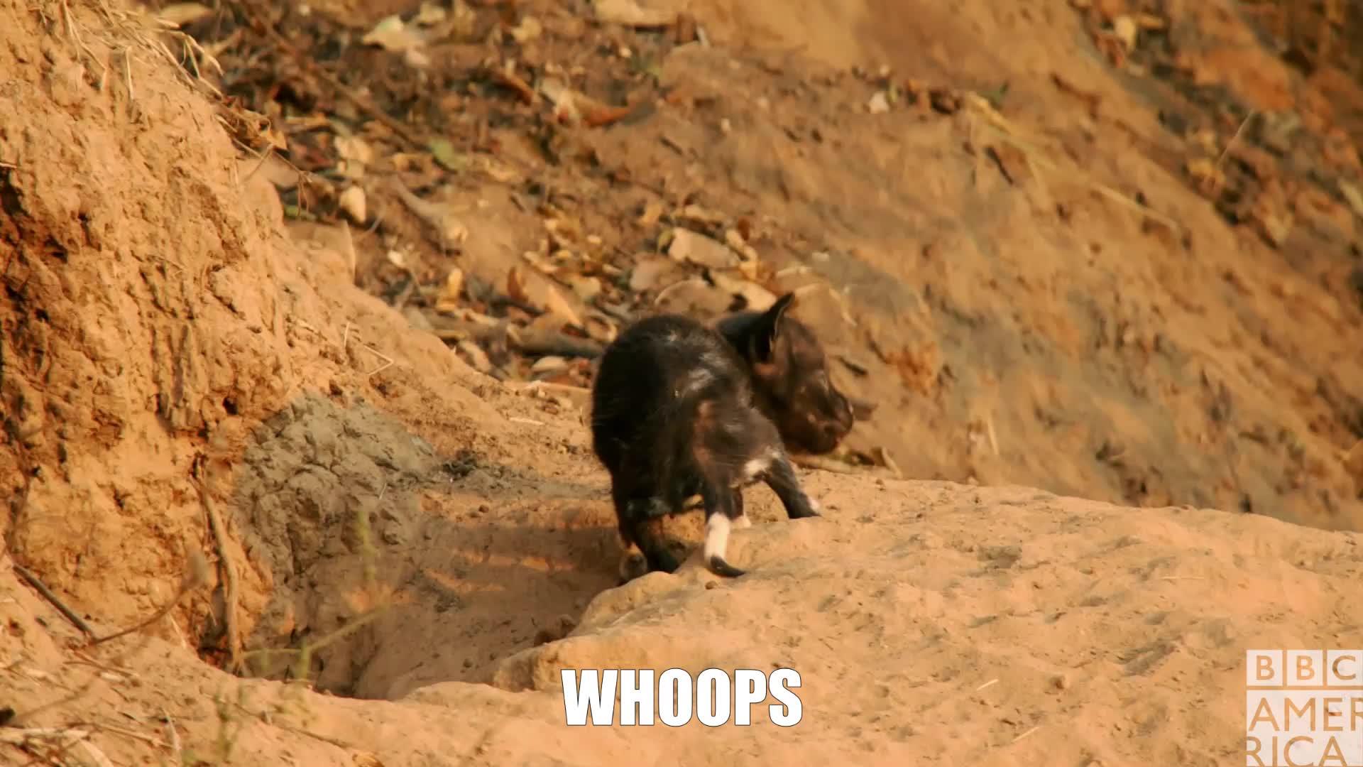 animal, animals, bbc america, bbc america dynasties, bbc america: dynasties, dynasties, fail, oops, painted wolf, painted wolves, whoops, wolf, wolves, Dynasties Whoops Wolf Pup GIFs