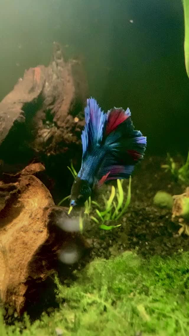 Watch and share Aquarium GIFs and Betta GIFs by dvanha on Gfycat