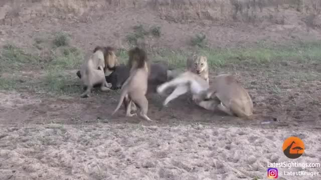 Watch and share Lion Things (alternative) GIFs on Gfycat