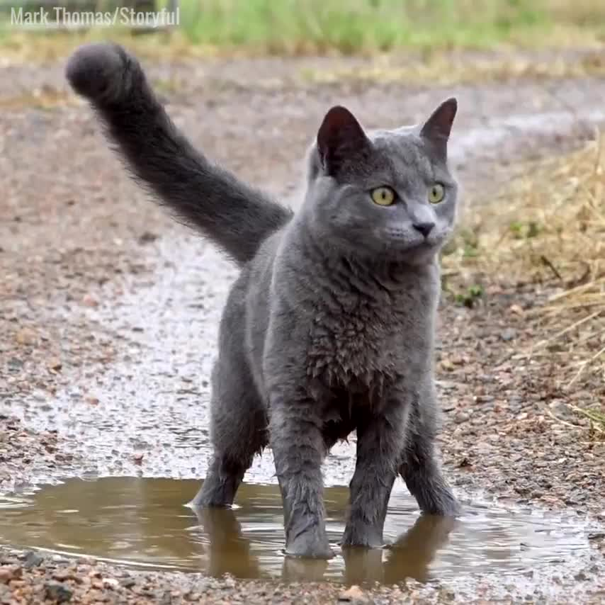 cat, cats, Who'd have thought it, a cat that loves puddles 😮😂 GIFs