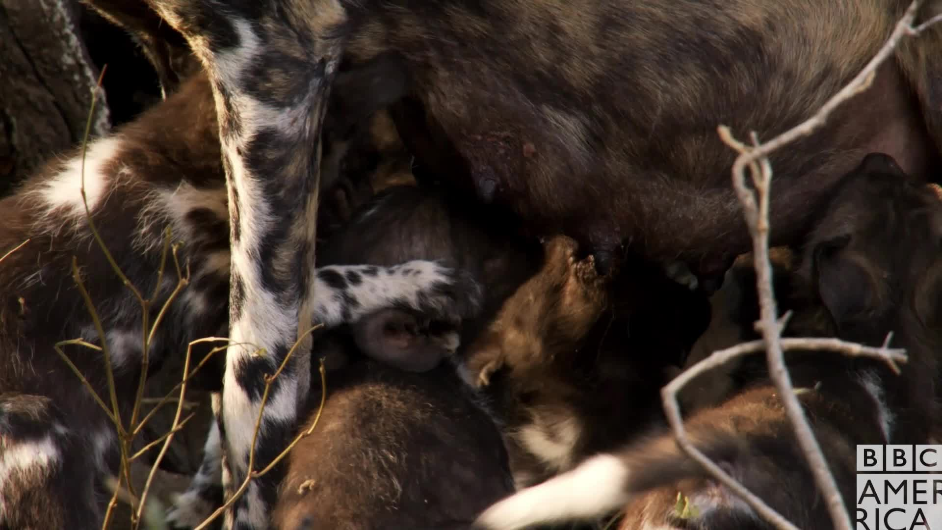 animal, animals, bbc america, bbc america dynasties, bbc america: dynasties, dynasties, painted wolf, painted wolves, thirsty, wolf, wolves, Dynasties Thirsty Wolf Puppies GIFs
