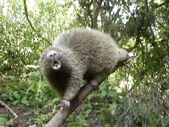 Pets & Animals, RivelinoGalvao, nature, ouriço, preto, wildlife, Ouriço preto (Chaetomys subspinosus) GIFs