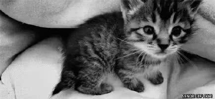 cat, kitten, kitty, meow, Meow! GIFs