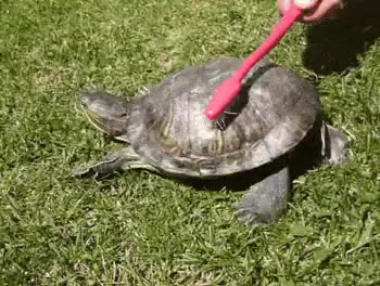 Watch tortoise GIF on Gfycat. Discover more related GIFs on Gfycat