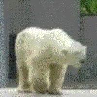Watch and share Dancing Polar Bear Gif GIFs on Gfycat