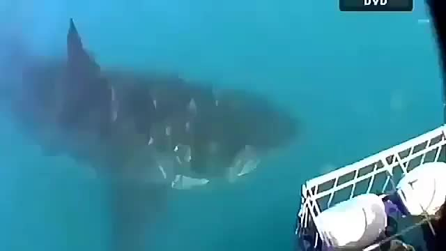 Watch 🔥 Size difference between 3m great white and 5m great white🔥 GIF on Gfycat. Discover more acid-hologram GIFs on Gfycat