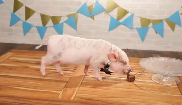Watch and share Mini Pigs Eat Tiny Cupcakes GIFs on Gfycat