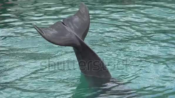 Watch and share Tail Of Common Bottlenose Dolphin Stock Footage Video (100% Royalty-free) 17286892 | Shutterstock GIFs on Gfycat