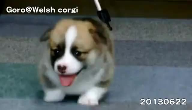 Watch and share Corgi GIFs on Gfycat