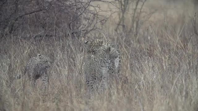 Watch and share Nkoveni With Cubs Slow Mo.mp4 GIFs by Londolozi Game Reserve on Gfycat