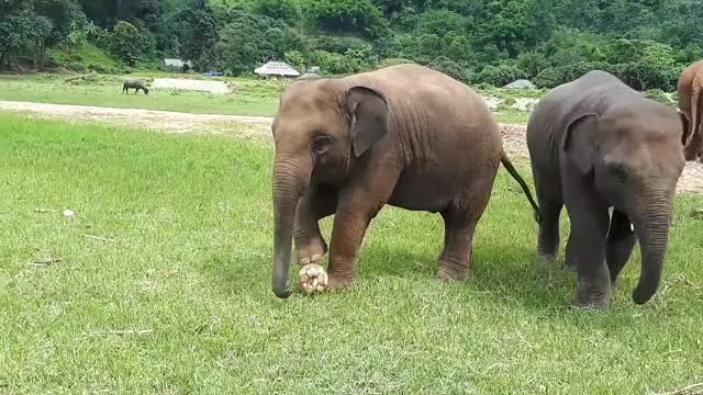 Watch Baby elephant playing football with his best friend GIF on Gfycat. Discover more baby elephant, chiangmai, cute, cute baby elephant, cute elephant, elephant, elephant dok geaw, elephant nature park, elephant thong ae, thailand GIFs on Gfycat