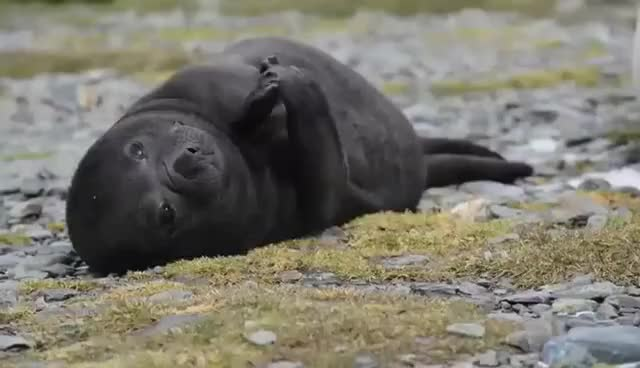 Watch and share Baby Elephant Seal Clapping Hands Grytviken GIFs on Gfycat