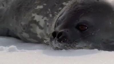 mildlyinteresting, killer whale slowly pulling seal into water sneak cant sad GIFs