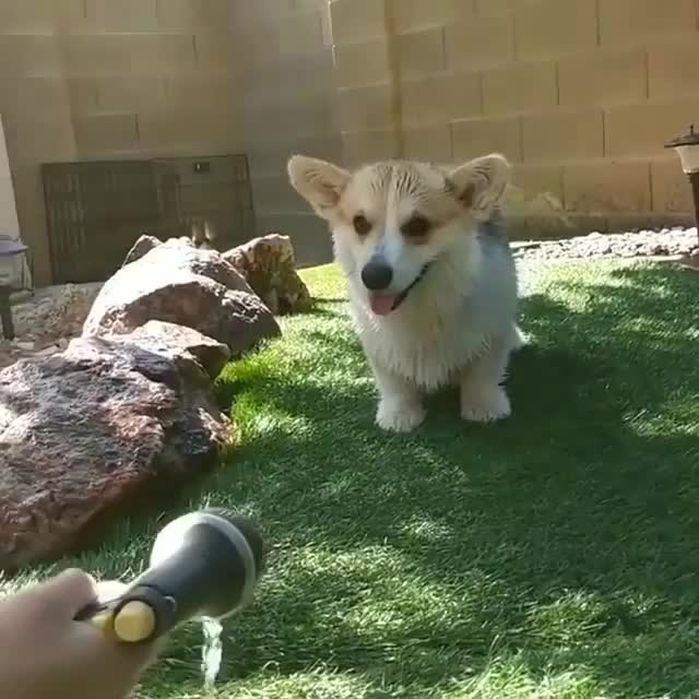 Watch and share A Corgi's Ferocious Standoff With The Dreaded Water Nozzle (@itsthegustaff) GIFs by tothetenthpower on Gfycat