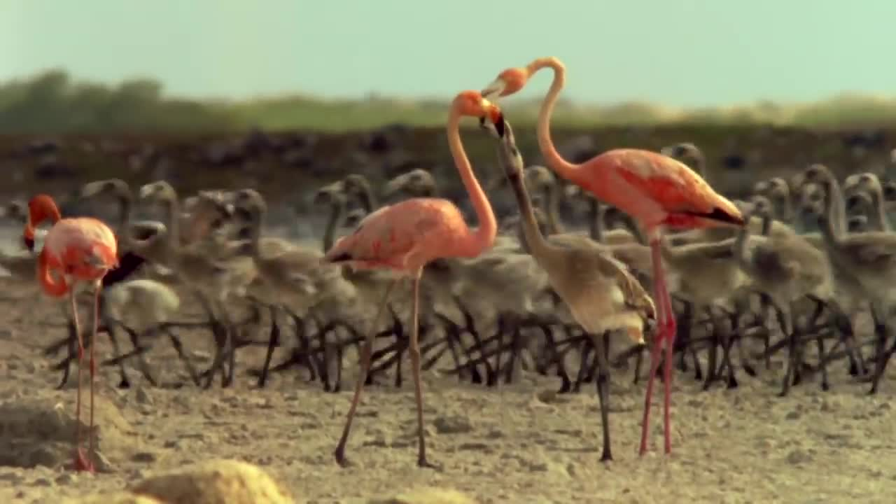 Flamingos marching into battle GIFs