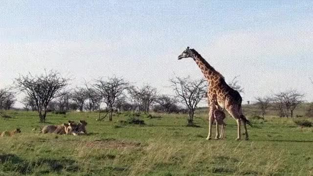 Watch and share Giraffe GIFs and Dragon GIFs on Gfycat