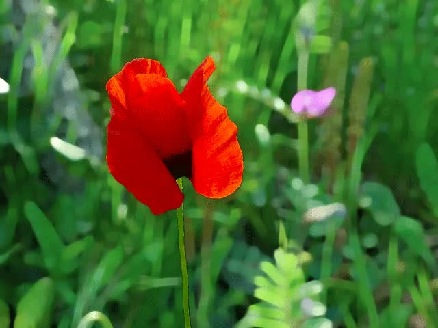 Watch and share Poppy In Corsica ... Animated Gif By Silana2a GIFs on Gfycat