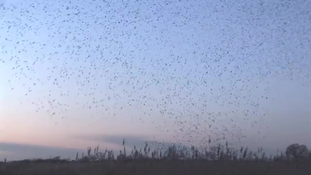 Watch and share Starlings GIFs by alternations on Gfycat