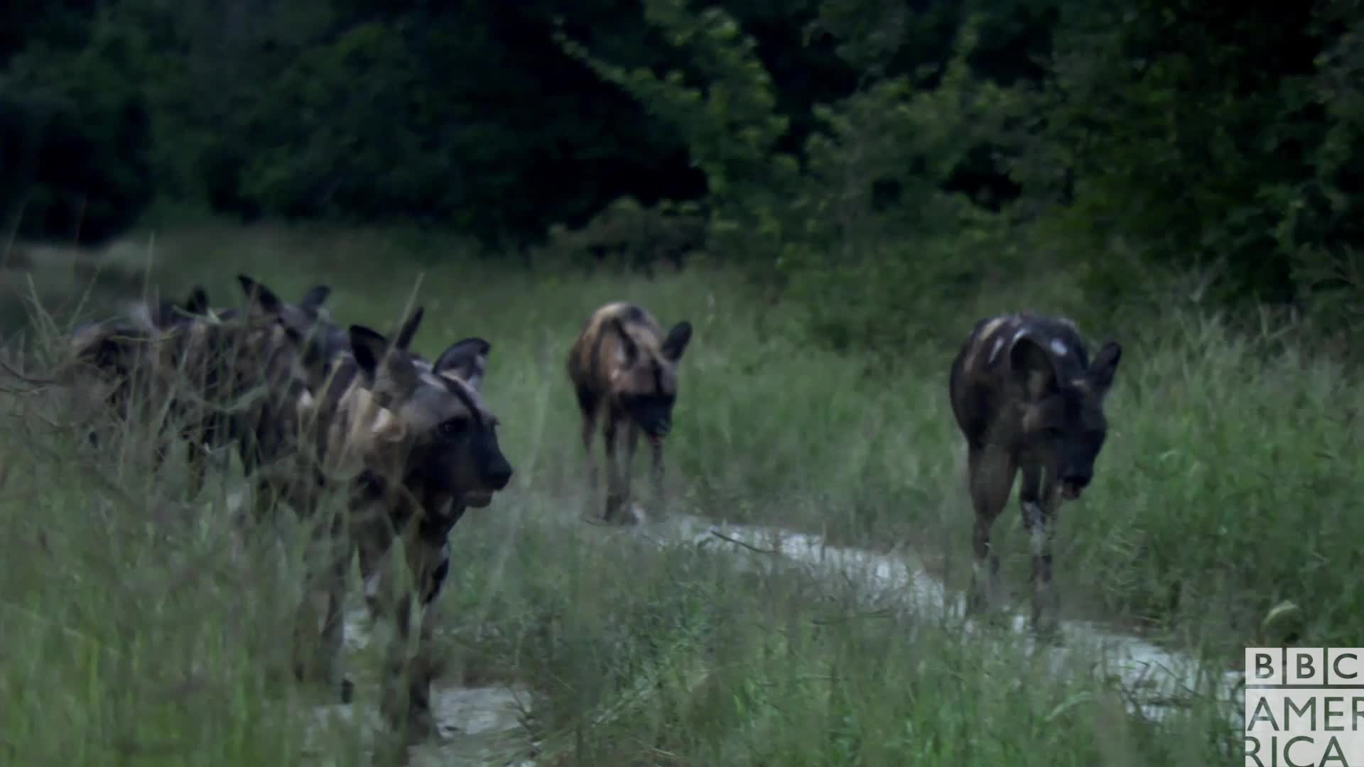animal, animals, bbc america, bbc america dynasties, bbc america: dynasties, dynasties, friends, let's go, let's leave, painted wolf, painted wolves, squad, swag, wolf, wolf pack, wolves, Dynasties Wolf Pack GIFs