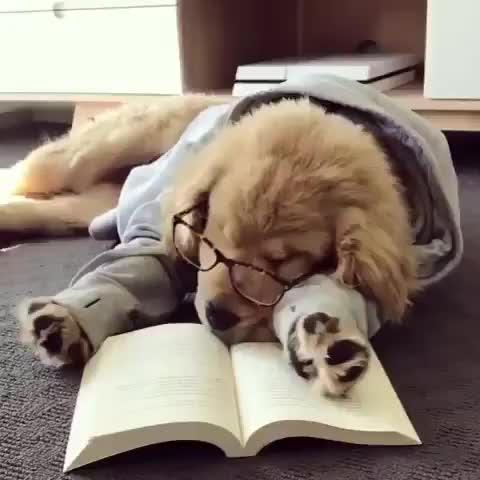Gotta take a study break 🤓💤 This adorable Golden retriever is George, he's studying to pass puppy school 🐶🎓 (🎥: .thegoldenpup ) 🐶 🐶 �