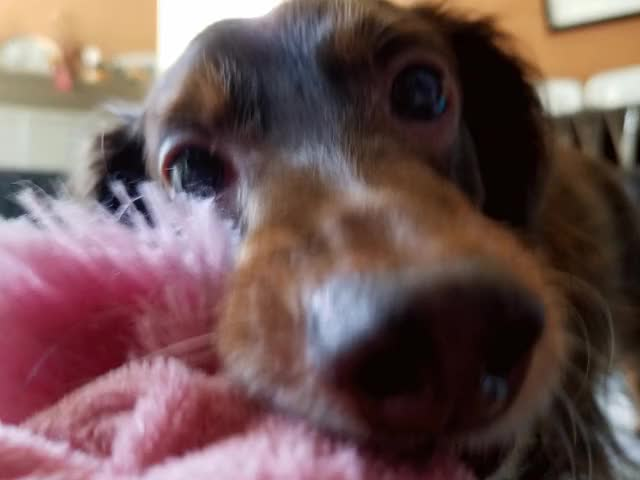 Watch and share Wiener Dog GIFs and Dachshund GIFs on Gfycat
