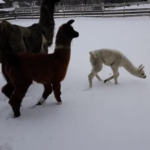 Watch this animal GIF by @nimbusthellama on Gfycat. Discover more aww, cria, cute GIFs on Gfycat
