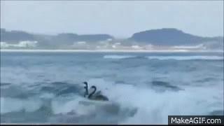 surfing swans GIFs