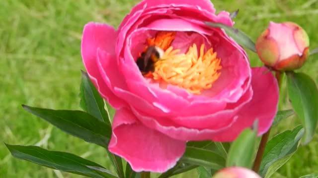 Watch bumblebee - Peon GIF by Diamond Garden (@cleopatra) on Gfycat. Discover more fields, flower, green grass, kaomi, nature, peon, seillean-mòr, spring, парк, пеон, шмель, խոնավություն GIFs on Gfycat