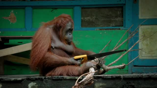 Watch Orangutan saws a tree GIF on Gfycat. Discover more reactiongifs GIFs on Gfycat