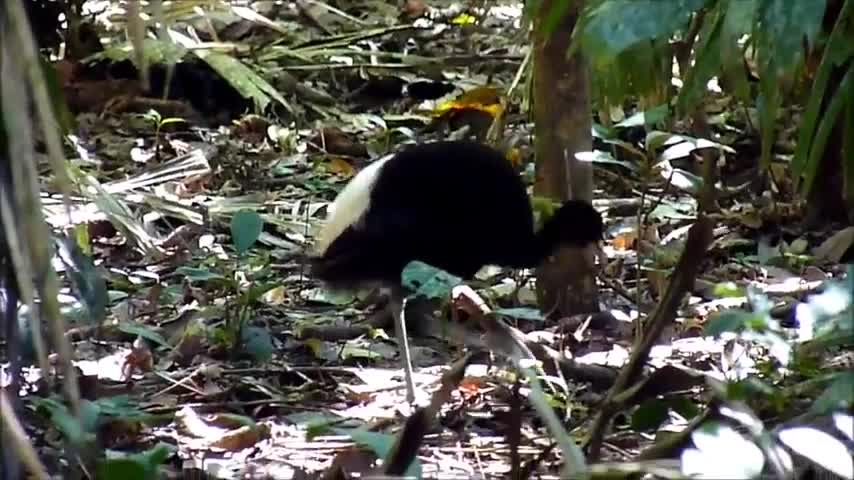 Pale-winged Trumpeter, Peru 2011, Pale-winged Trumpeter GIFs