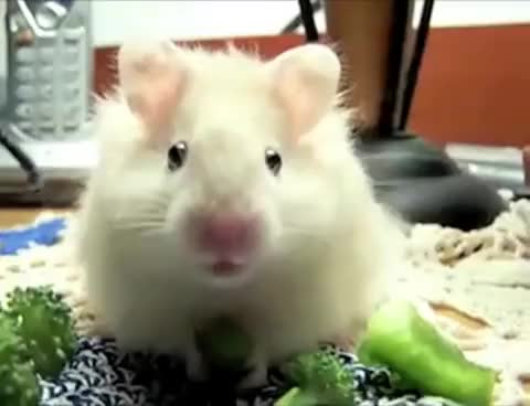 Watch Hamster GIF on Gfycat. Discover more Funny GIFs on Gfycat