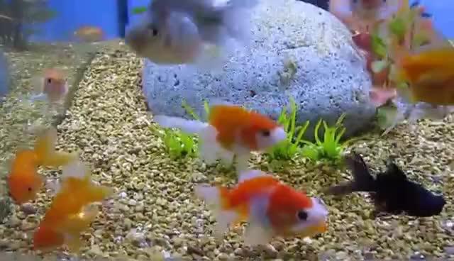 goldfish, Baby Goldfish GIFs