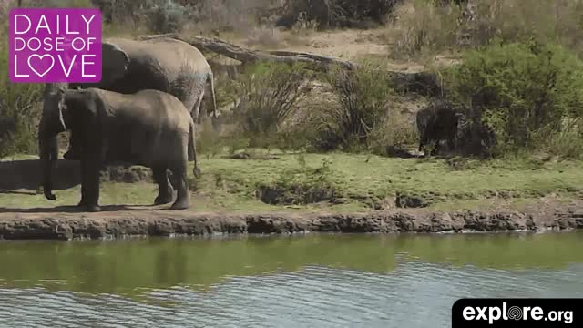 Watch Baby Elephant! GIF by Explore.org (@exploreorg) on Gfycat. Discover more animal, animal live cam, animal livecam, baby animal, daily dose of love, dailydoseoflove, elephant, explore, explore.org, exploreorg, live cam, livecam, love, nature, nature livecam, organic, pure GIFs on Gfycat