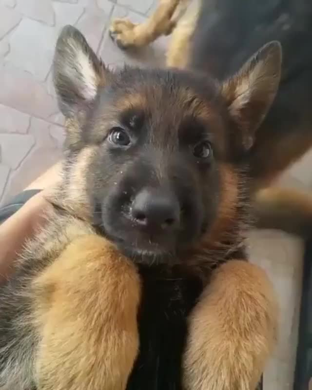 Watch and share German Shepherd GIFs and Puppy GIFs by teistom on Gfycat