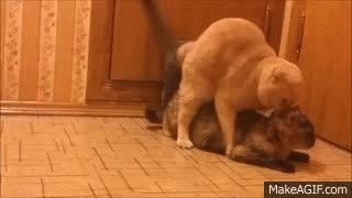 Watch and share Cats Mating. Timothy Vs Emil And Muffy. GIFs on Gfycat