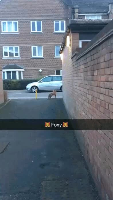 Watch and share The Fox GIFs on Gfycat