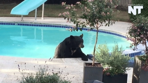 animal, animals, animals in the pool, bear, bear in pool, bears, breaking news, canada, caught on camera, gif, gifset, news, nowthis, pool, vancouver, Pools GIFs