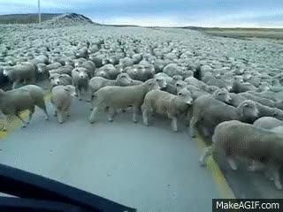 Watch and share Flock Of Sheep Blocks The Road GIFs on Gfycat