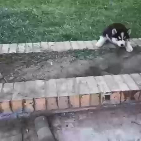 Watch and share Husky Pups GIFs on Gfycat
