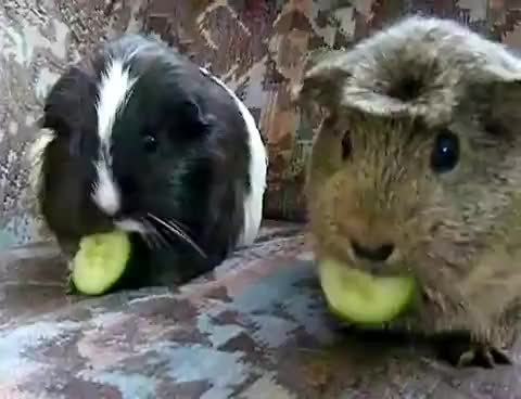 Watch and share Guinea Pigs GIFs on Gfycat