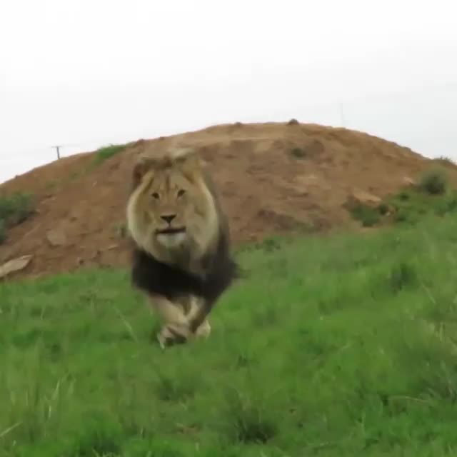 animal, lion, nature, Braveheart is a lion born with bow legs, but he can still move around fine GIFs