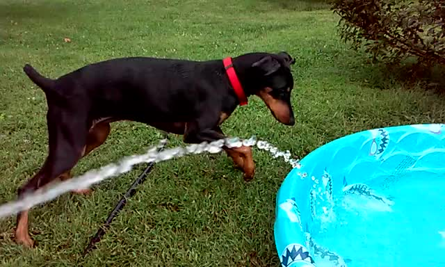 Watch Chewin water GIF by @rexfreeway on Gfycat. Discover more brandi, dobie, dog GIFs on Gfycat