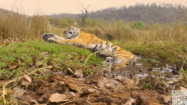 Watch this animal GIF by BBC America (@bbcamerica) on Gfycat. Discover more animal, animals, bbc america, bbc america dynasties, bbc america: dynasties, dynasties, good morning, sleep, sleepy, tiger, tigers, tired, wake up, zzz GIFs on Gfycat