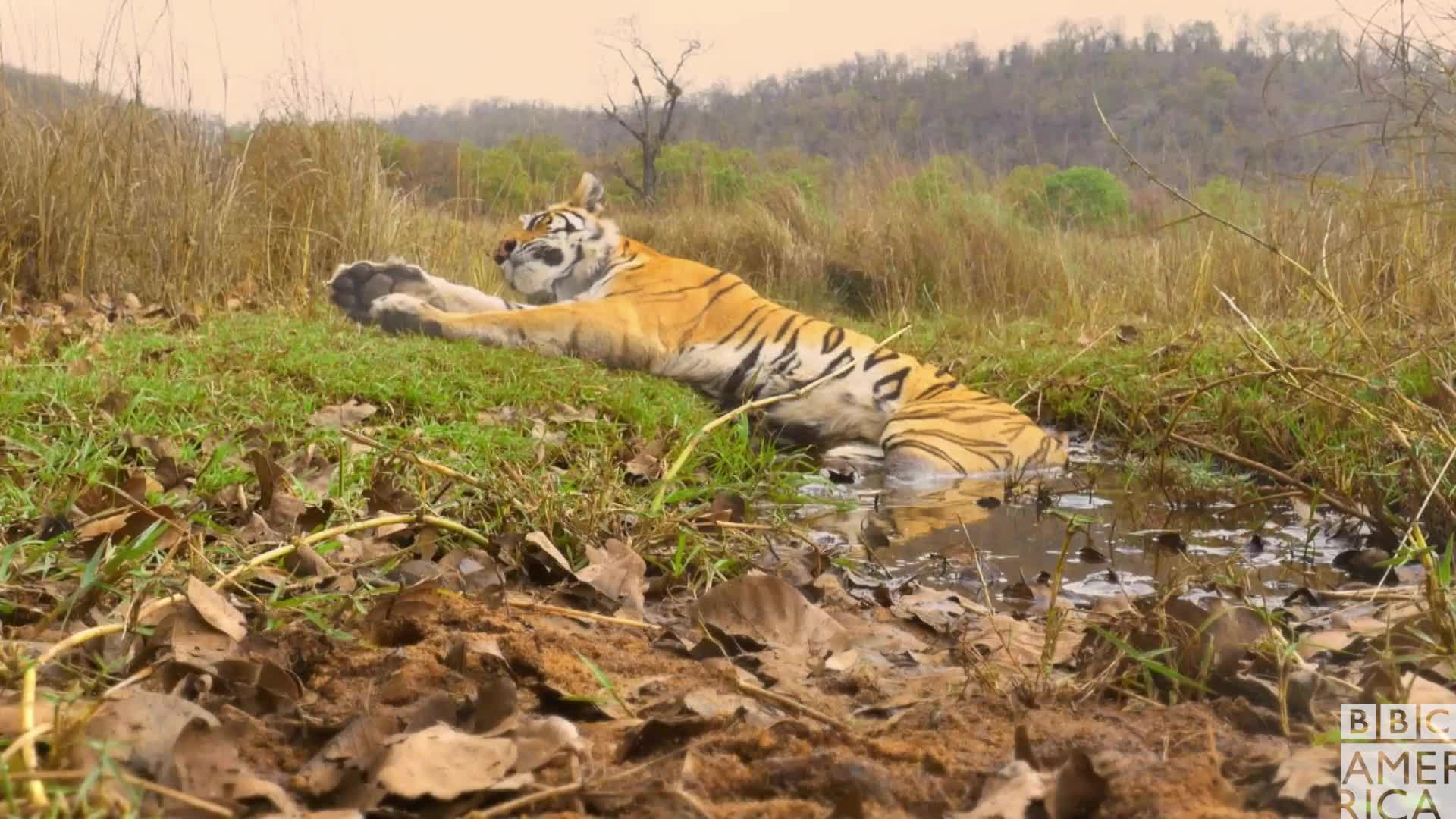 animal, animals, bbc america, bbc america dynasties, bbc america: dynasties, dynasties, good morning, sleep, sleepy, tiger, tigers, tired, wake up, zzz, Dynasties Raj Bhera Tiger Wakes Up GIFs