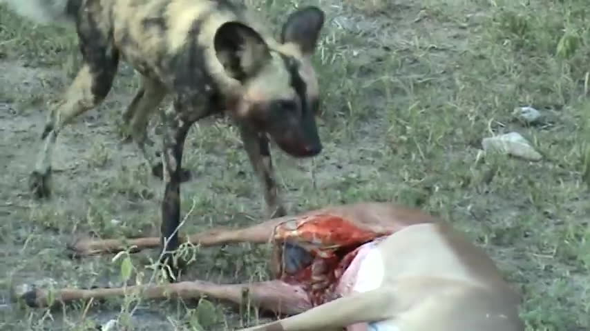 natureismetal, WIld dog eating an impala GIFs